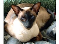 2 Burmese and Siamese cats need a good home