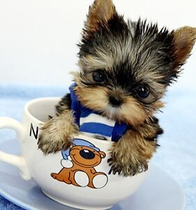 Looking for a couple of teacup yorkies for a decent price