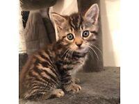 Beautiful full tabby female kitten