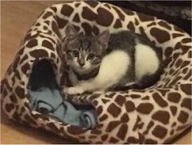 Grey & White 12 week old male kitten