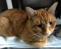 """Young Male Cat - Domestic Short Hair: """"Craig"""""""