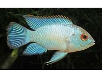 female african cichlid electric blue