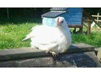 Bantams White Booted