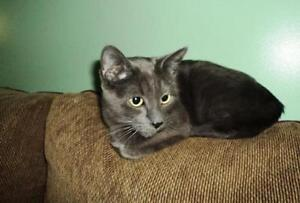 """Adult Female Cat - Domestic Short Hair: """"Missy"""" Downtown-West End Greater Vancouver Area image 1"""