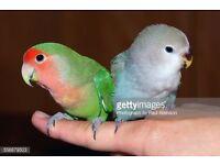 Handtame and cuddly peachfaced mutation lovebird