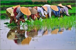 Authentic Rice Paddy Hat