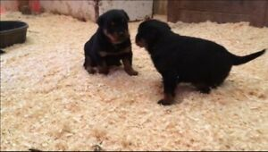 Adorable Rottweiler puppies!!!