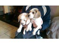 Beagle puppy's