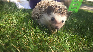 3 MONTH OLD HEDGEHOG FOR SALE ITEMS INCLUDED!