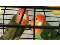 YOUNG PAIR OF LOVE BIRDS