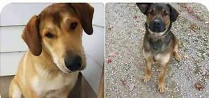 LOST: Shepard Mix Dogs