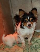 FEMLLE ADULTE CHIHUAHUA À POIL LONG 7 ANS