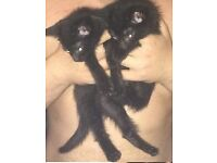 9 week old black kittens 40 each wormed and flea'd lived with dogs since born very playful all boys