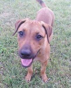 Adopt Yasmin 3mth Ridgeback X Cattle Dog North Ward Townsville City Preview