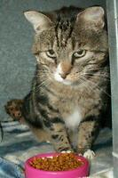 """Adult Male Cat - Domestic Short Hair: """"Spock"""""""