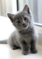 WANTED: GRAY KITTEN ! WILL PAY $$$.