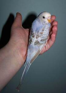 ~PLENTY BABY BUDGIES TO CHOOSE - ALL FULLY HANDRAISED~ Kenwick Gosnells Area Preview