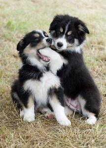 Border Collie Pups North Ward Townsville City Preview