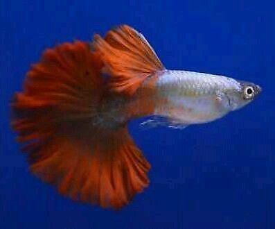 Female guppy live fish ebay for Ebay live fish