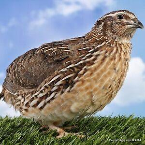 Jumbo Cortunix quail male