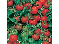 Lovely strong tomato PLANTS - Ailsa Craig or Gardeners delight - single pots 50p each
