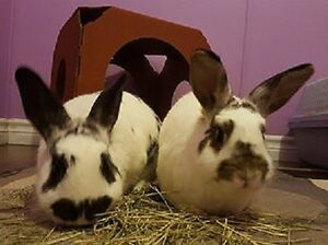 10,000 Carrots Rabbit Rescue - Bunnies for Adoption - Bonded