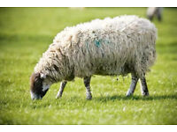 Winter Grazing Wanted for Sheep