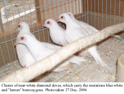 Diamond Doves Birds Gumtree Australia Bankstown Area Bankstown