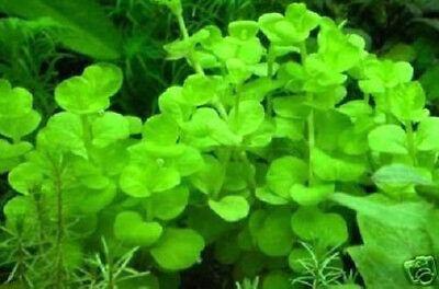 Ideale Teichpflanze Unterwasserwald Algenkiller Wasserpflanze Mittel gegen Algen