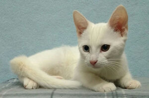 "Baby Male Cat - Domestic Short Hair (White): ""Aspen"""