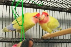 "Young Female Bird - Parakeet (Other): ""Orange and Kiwi"""