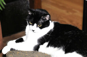 "Adult Female Cat - Domestic Short Hair: ""Lisbon"""