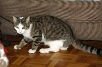 Young Female  - Domestic Short Hair - brown-Tabby - white