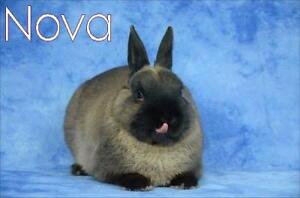 "Adult Male Rabbit - Netherland Dwarf: ""Nova"""