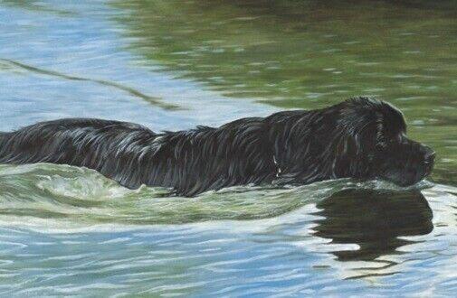 Newfoundland Dog Newf Limited Edition Art Print Full Steam Ahead Steven Nesbitt*