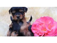 Yorkshire terrier females