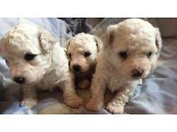 Full Bichon Frise Puppies