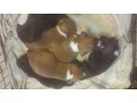 staffordshire bullterrier puppys