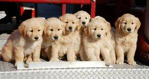 LOOKING FOR GOLDEN RETRIEVER PUP! Robina Gold Coast South Preview