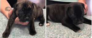 Cane corso mix puppies looking for forever home!!