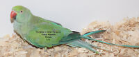 Ringneck female Turquoise for reproduction