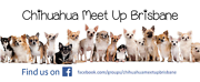 Chihuahua Meet Up Brisbane! Brisbane City Brisbane North West Preview