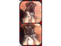 Beautiful semi long haired pedigree German Shepherd puppies READY NOW