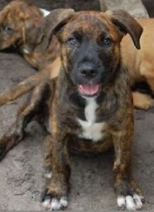 Looking for a brindle colour puppy