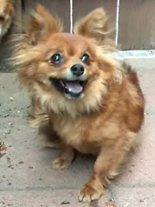 """Young Female Dog - Pomeranian: """"Lelani"""""""