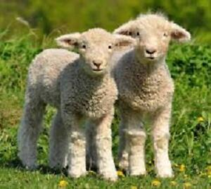 sheep/lambs for breeding and meat