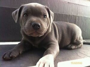 WANTING TO BUY AN ENGLISH STAFFY PUP Bluewater Park Townsville Surrounds Preview