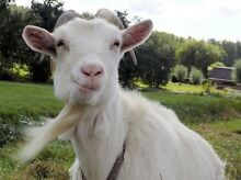 Wanted goat or cow Fulham Gardens Charles Sturt Area Preview