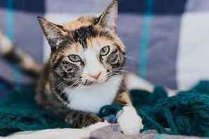Beautiful Cats & Kittens - Fixed, Vaccinated & Microchipped! Edmonton Edmonton Area image 1