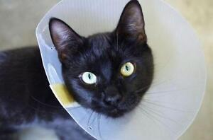 """Young Male Cat - Domestic Short Hair-black: """"Cactus"""""""